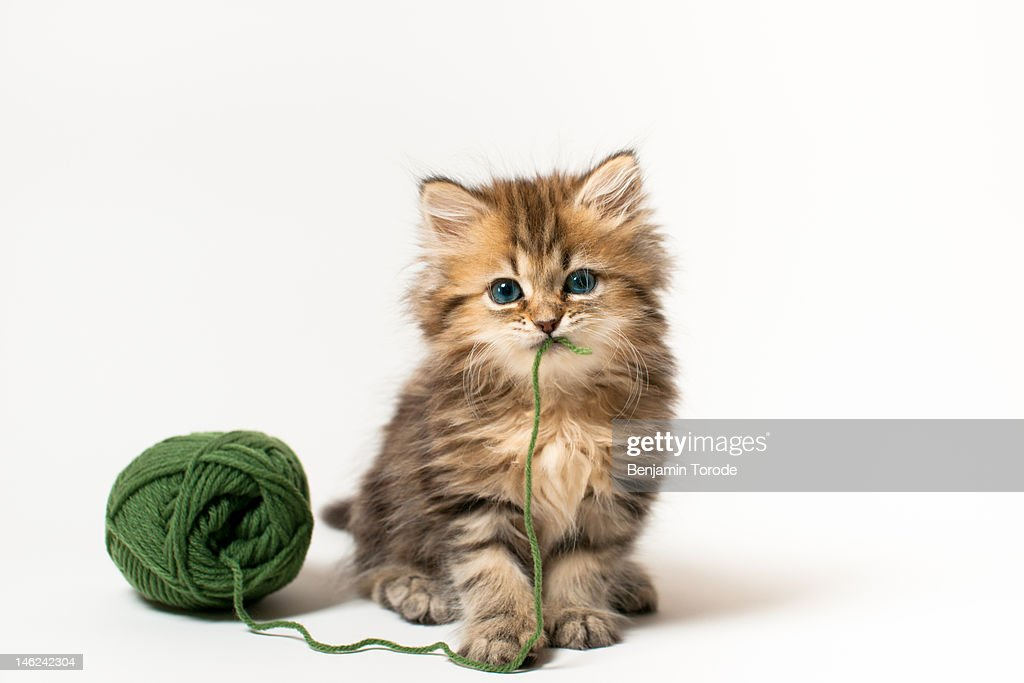 Brown blue-eyed kitten with green wool in mouth : Stock Photo