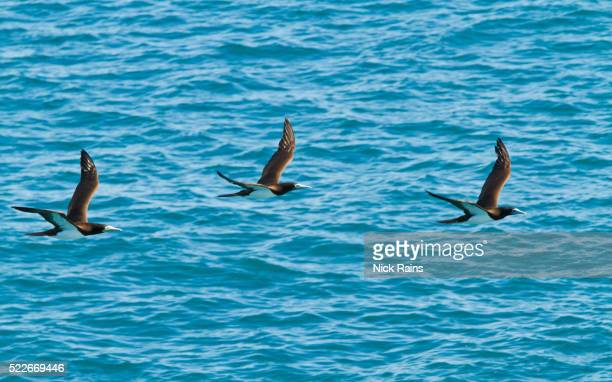 brown boobies in flight at lacepedes islands in western australia - brown booby stock pictures, royalty-free photos & images