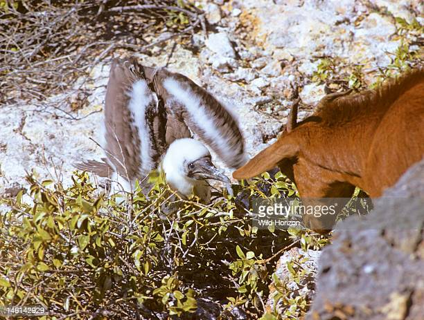 Brown booby bird chick jabs at a curious feral goat to defend itself Sula leucogaster leucogaster East coast of Mona Island Commonwealth of Puerto...