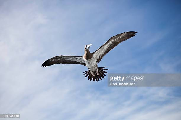 a brown booby bird flies through the air - brown booby stock pictures, royalty-free photos & images