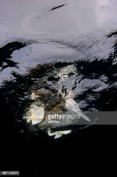 brown booby bird Sula leucogaster resting on surface from underwater view Sea of cortez baja california Mexico