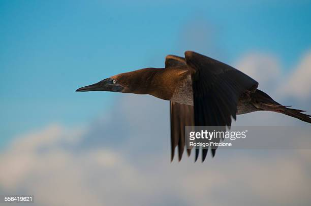 a brown booby (sula sp.) flying around san benedicto island, revillagigedo, mexico - brown booby stock pictures, royalty-free photos & images
