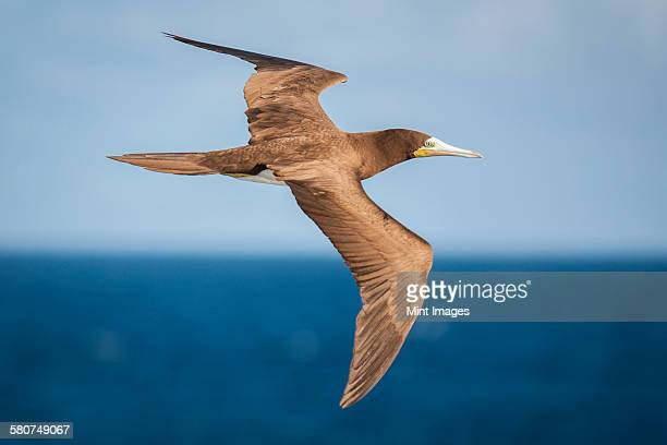 brown booby in flight over the ocean. - brown booby stock pictures, royalty-free photos & images