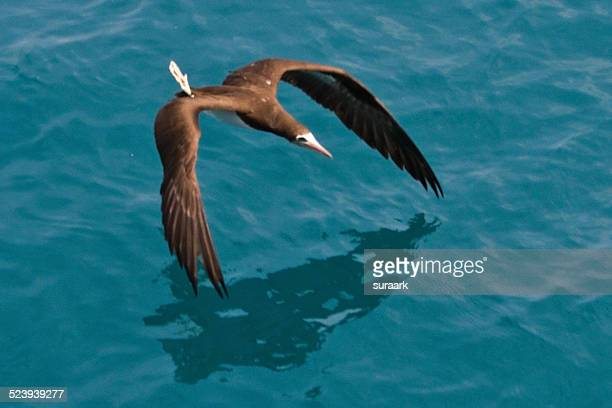 brown booby in marenco, costa rica - brown booby stock pictures, royalty-free photos & images