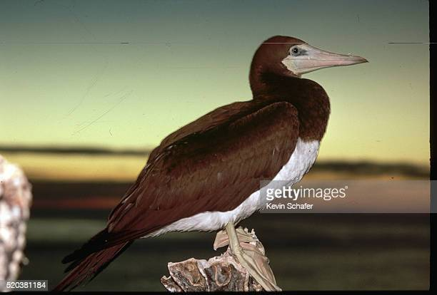 brown booby in profile - brown booby stock pictures, royalty-free photos & images