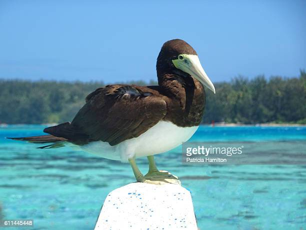 brown booby, moorea - brown booby stock pictures, royalty-free photos & images
