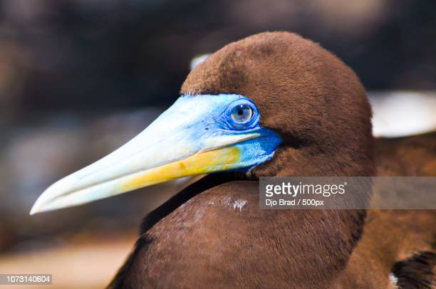 brown booby nesting in tetiaroa - brown booby stock pictures, royalty-free photos & images