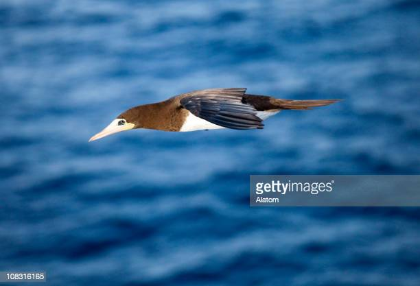 brown booby - brown booby stock pictures, royalty-free photos & images