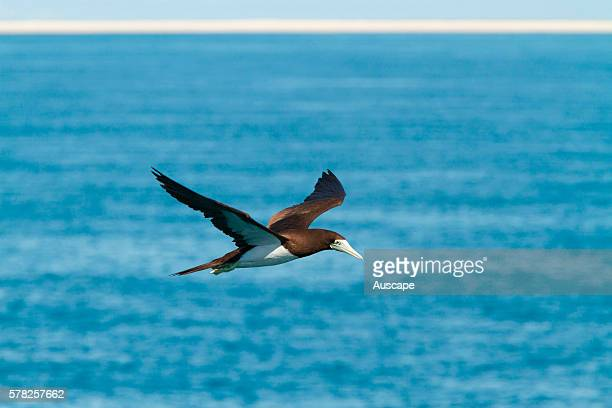 Brown booby Sula leucogaster in flight over ocean Lacepede Islands Kimberley region Western Australia Australia