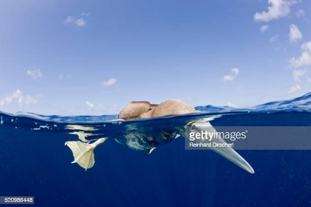 brown booby, sula, leucogaster, marshall islands, bikini atoll, micronesia - satellite views of bikini atoll marshall islands stockfoto's en -beelden