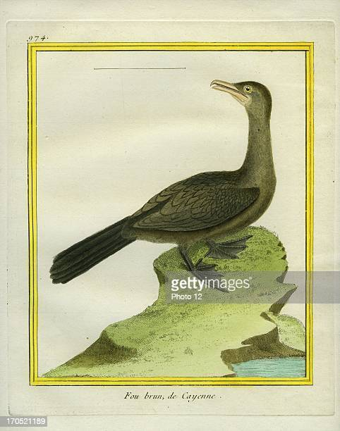 Brown Booby Sula leucogasterBrown BoobyGeorgesLouis Leclerc Comte of Buffon Natural History of birds fish insects and reptiles coloured and engraved...