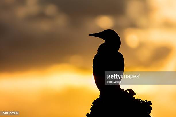 Brown Booby Sunrise
