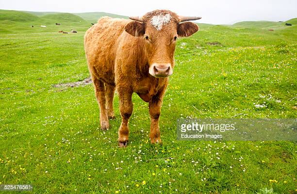 Brown bullock with horns on machair grassland grazing Vatersay Island Barra Outer Hebrides Scotland