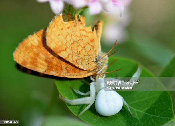Brown butterfly being consumed by white spider