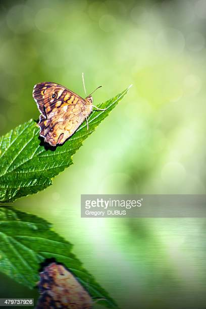 Brown butterfly insect on leaf with fresh water reflection