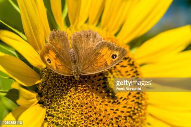 A brown butterfly is collecting pollens on a yellow sunflower