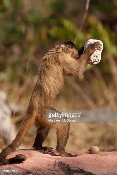 brown capuchin, cebus apella, trying to break rocks in piaui, brazil - capuchin monkey stock pictures, royalty-free photos & images