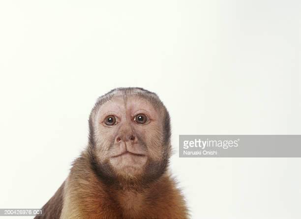brown capuchin (cebus apella), close-up - mono capuchino fotografías e imágenes de stock