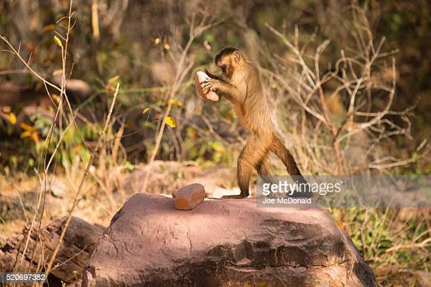 brown capuchin monkey breaking palm nuts - capuchin monkey stock pictures, royalty-free photos & images