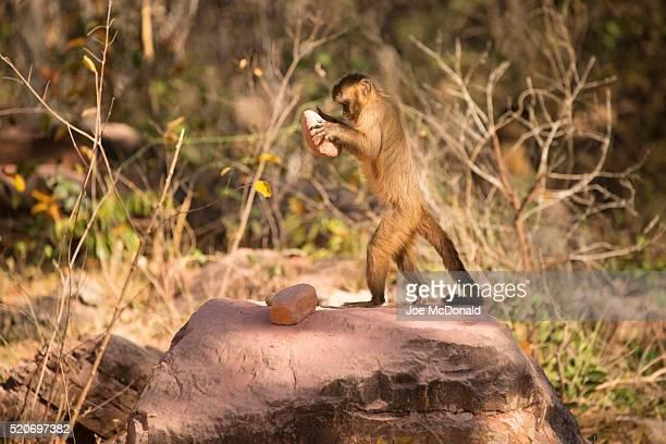 brown capuchin monkey breaking palm nuts - mono capuchino fotografías e imágenes de stock