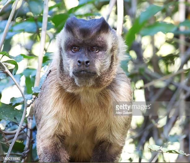 a brown capuchin monkey, cebus apella, in a tree. - alex saberi foto e immagini stock