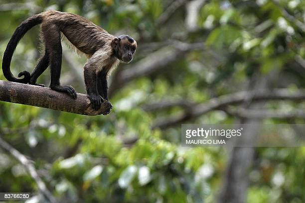 A 'Brown Capuchin Monkey' one of an endangered native species of Amazonian fauna lies at a natural reserve certified by the Brazilian Institute for...