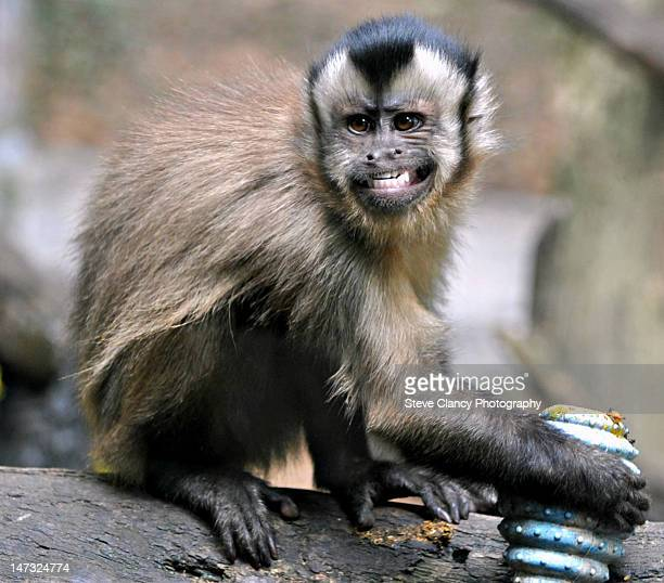 brown capuchin monkey - capuchin monkey stock pictures, royalty-free photos & images