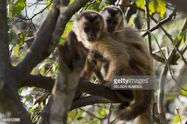 'Brown Capuchin Monkeys' are seen on a tree on the banks of the Paraguay river, in Caceres, Brazil, the gateway to the Pantanal, on August 28, 2014....