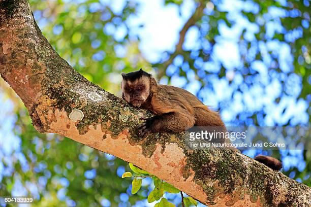 Brown Capuchin, (Cebus apella)