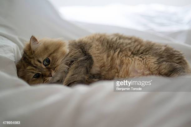 Brown cat lying on white sheets