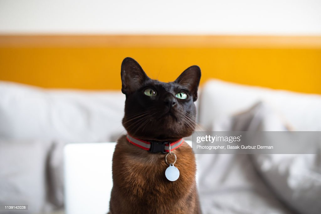 A brown cat with a collar and nameplate, sitting on bed : Stock Photo