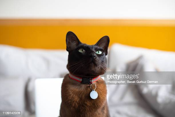 a brown cat with a collar and nameplate, sitting on bed - collar stock pictures, royalty-free photos & images