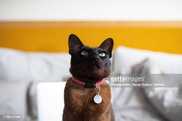 a brown cat with a collar and nameplate, sitting on bed - basak gurbuz derman stockfoto's en -beelden