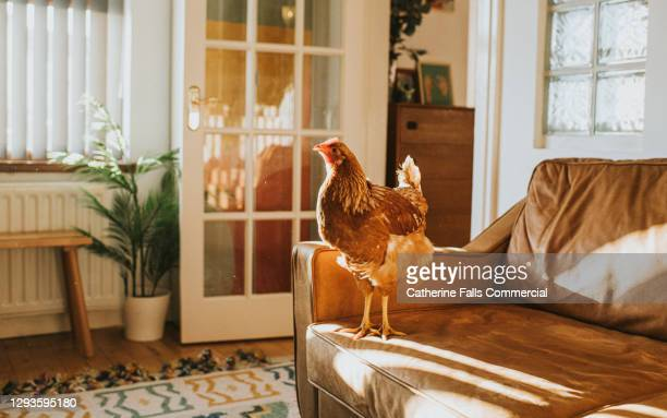 brown chicken on a leather sofa in a sunny domestic room - animal limb stock pictures, royalty-free photos & images