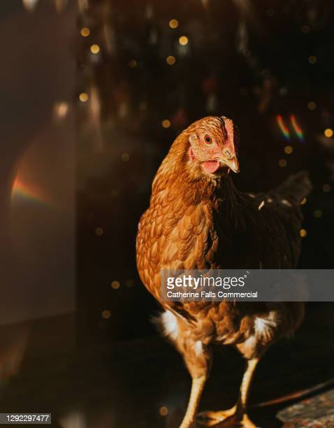 a brown chicken peeking out from the shadows - animal stock pictures, royalty-free photos & images