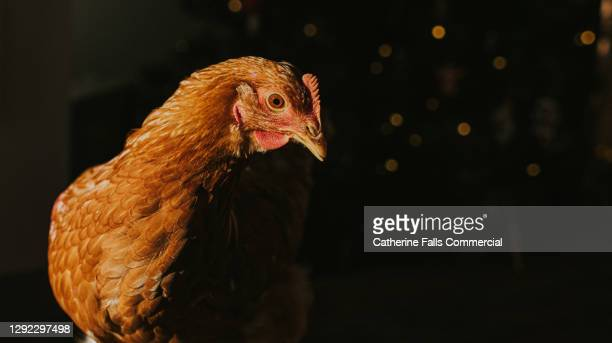a brown chicken peeking out from the shadows - animal limb stock pictures, royalty-free photos & images