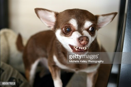 snarling chihuahua brown chihuahua snarling with teeth showing stock photo 5606