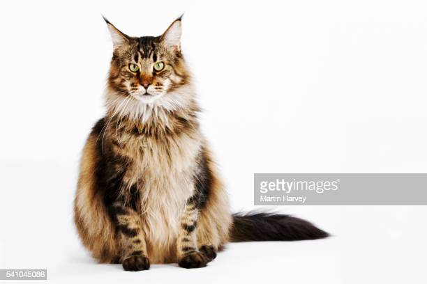 Brown Classic Tabby Domestic Maine Coon Cat
