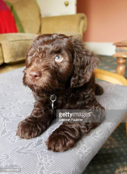 brown cockapoo puppy sat on chair - cockapoo bildbanksfoton och bilder