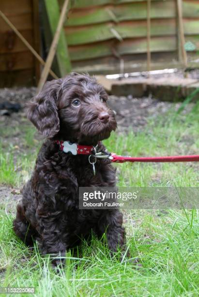 brown cockapoo puppy sitting in garden with lead on - nottingham stock pictures, royalty-free photos & images