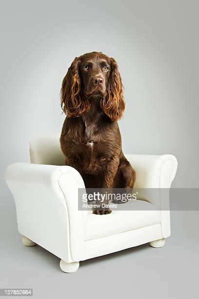 Brown cocker spaniel dogs on sofa