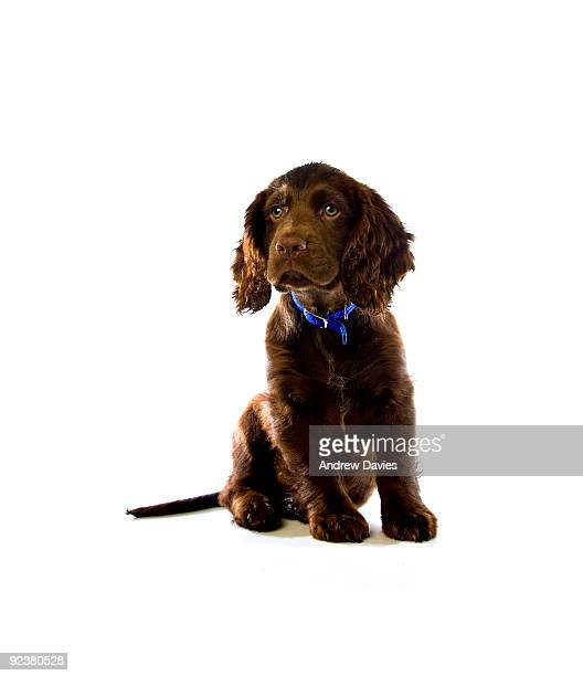 brown cocker spaniel puppy - cocker spaniel stock photos and pictures