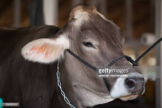 brown cow at the state fair - head of state stock pictures, royalty-free photos & images