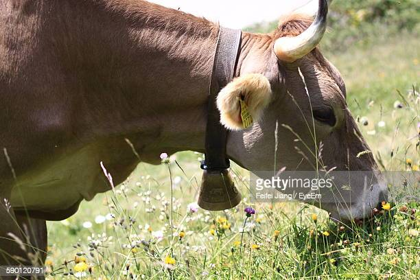 Brown Cow Grazing On Field