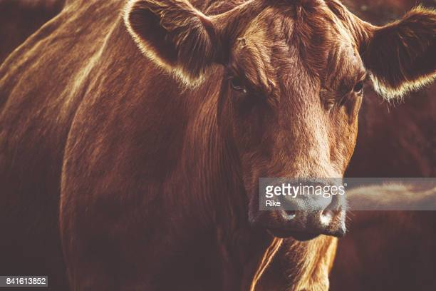 Brown cow is looking at the camera in dusk