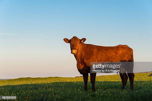 A brown cow on a summer evening