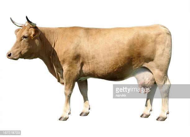 Brown vache