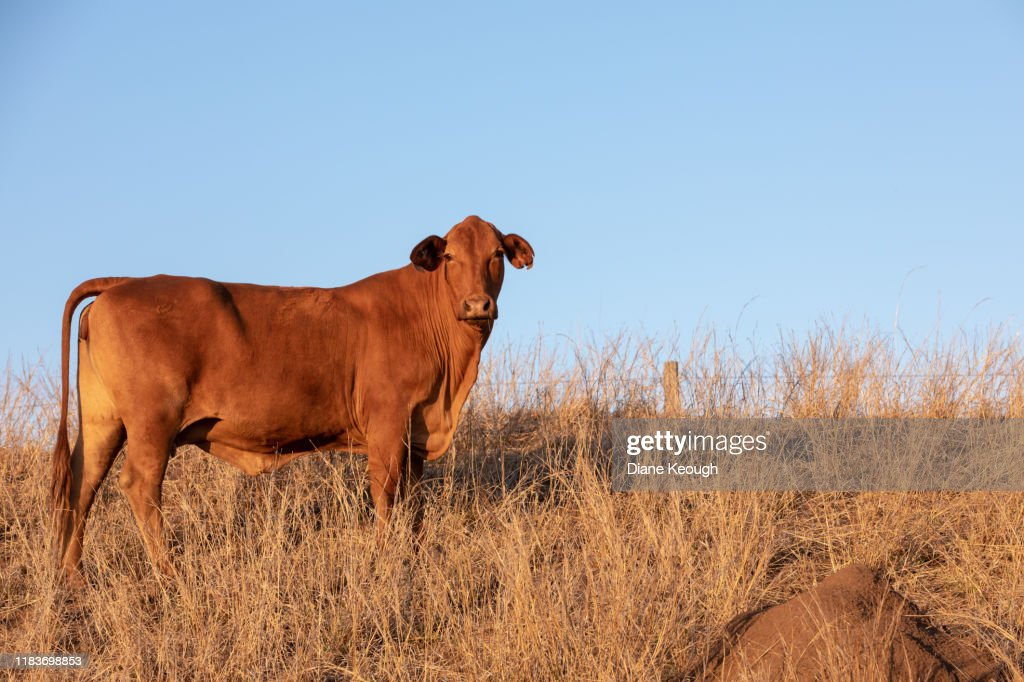 Brown cow standing in the grass : Stock Photo