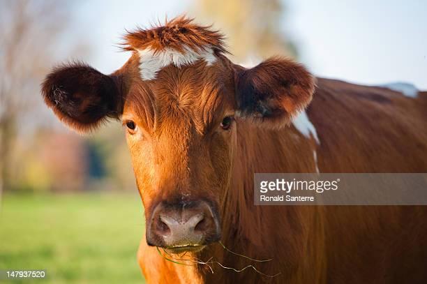 Brown cow wearing toupet
