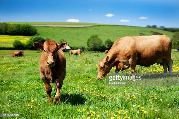 Brown cows grazing in a grass field with buttercups